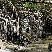 link to mangrove gallery: photo of Rhizophora                       mangle roots at a tidal creek